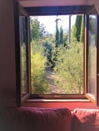 Olives in garden seen from the window